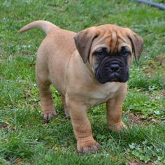 Find your dream puppy of the right dog breed at Bullmastiff dogs for sale in United States, Pennsylvania, Lancaster. You can also check our dog directory for more different dog breeds puppies for sale. Bull Mastiff Puppies, English Mastiff Puppies, Rottweiler Puppies, Collie Puppies, Dogs And Puppies, Bullmastiff Puppies For Sale, Doggies, Labrador Dogs, Beagle Puppy