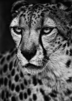 "The word cheetah comes from the ancient Indian Sanskrit word chita or chitra, meaning ""distinctively marked"" or ""variegated, bright, or speckled."" (source)"