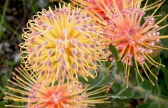 Proteas Please and Tease Me Lush Garden, Dream Garden, Pansies, Tulips, Mediterranean Garden, Passion Flower, Flowers Nature, Poinsettia, Tulip
