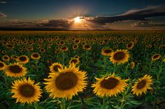 Sunflowers Forever by Mike Berenson - Colorado Captures on 500px