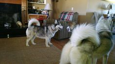 Lucy, one of our fosters. Husky Rescue, The Fosters, Dogs, Animals, Animales, Animaux, Pet Dogs, Doggies, Animal
