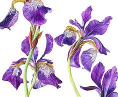 Iris Sibericus by Rosie Sanders
