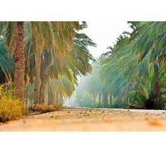 Palmeral en Basora. Región donde se cultiva mucho la palmera.