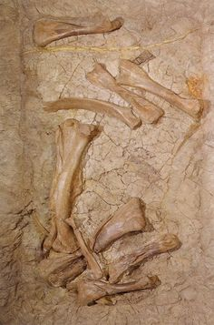 Edmontosaurus annectens Skeletal fossils as found at the excavation siteLocality: Hell Creek Formation, South Dakota, USA
