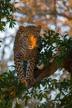 by Alexandr Sanin on Leopard Big Cats, Cool Cats, Beautiful Cats, Animals Beautiful, Animals And Pets, Cute Animals, Gato Grande, Ocelot, Tier Fotos