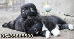 satılık yavru kafkas çoban köpeği http://www.kafkascobankopegi.com/2016/07/satilik-kafkas-coban-kopegi-yavrulari.html