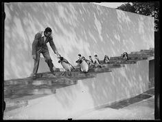 NOVEMBER 29: Walt Disney filming penguins at London Zoo, 1935.' American animation pioneer Walt Disney walks down the enclosure steps with the penguins.