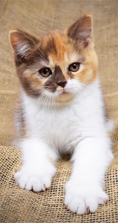 This kitty is super cute! kitty adorable cutekitty kitten is part of Beautiful cats - Cute Cats And Kittens, I Love Cats, Crazy Cats, Cool Cats, Kittens Cutest, Funny Kittens, Funny Dogs, Funny Horses, Ragdoll Kittens