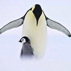 """beautiful-wildlife: """" Come closer by Daniel Armbruster An adult Emperor Penguin is protecting its chick """" Animals And Pets, Baby Animals, Cute Animals, Closer, Living In Denver, Emperor Penguin, Picture Places, Birds Eye View, Cute Photos"""