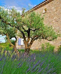 13 Meilleures Images Du Tableau Mon Olivier Planters Pots Et Provence