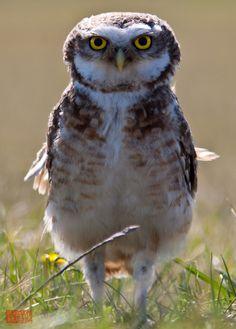 Burrowing #owl #patagonia #bird #photography
