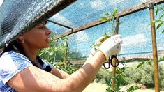 Lucrări la roșii Tomato Garden, Garden Tomatoes, Gardening, Youtube, Culture, Farm Gate, Plant, Lawn And Garden, Youtubers