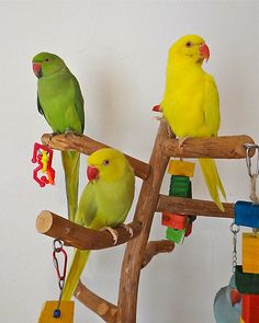 A year old male Green Indian Ringneck, and a baby female yellow Indian ringneck. In the middle is a confused girl. She has a yellow head and tail and a green body. She is known as a lacewing. https://www.facebook.com/Indianringnecks