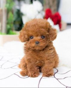 Mini Poodle Puppy, Tiny Toy Poodle, Teacup Poodles For Sale, Teacup Poodle Puppies, Micro Teacup Puppies, Teacup Maltipoo For Sale, Teacup Dogs, Cute Kittens, Pets