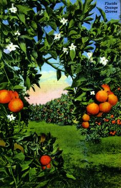 Florida Memory - Florida orange groves  I miss the smell of orange blossoms.  When the entire county is alive with their fragrance.