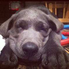 Cute and cuddly silver Labrador