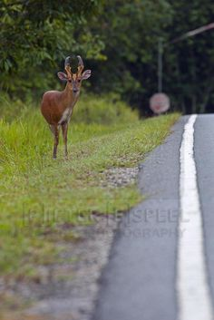 Common Barking Deer (Muntiacus muntjak) Khao Yai national park Khao Yai National Park, National Parks, Kangaroo, Deer, Thailand, Van, Animals, Baby Bjorn, Animales