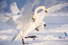 17 February 2010 Hokkaido, Japan Whooper swans fighting.