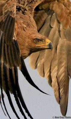 non mihi non tibi sed nobis: Photo Bird Pictures, Animal Pictures, Nature Animals, Animals And Pets, Beautiful Birds, Animals Beautiful, Hawk Bird, Big Bird, Wild Nature