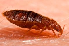 """First comes a mysterious difficulty sleeping through the night, then asplotchy, itchy rash and finally the alarming (and somewhat embarrassing) realization—your bed is infested with Cimex lectularius,the dreaded bed bug. A new study published yesterday in the Journal of Economic Entomologyhas more bad news for those suffering from an infestation: Over-the-counter products like """"foggers"""" and """"bug bombs"""" do virtually nothing to kill the irritating pests."""