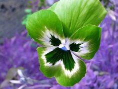 Green pansy