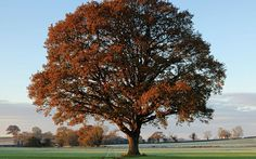 In early winter an English oak, its colours fast changing from green to russet, stands in solitary splendour among arable fields at Lamyatt in the west of England.