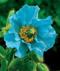 Bonsai Rare Persian Blue poppy Papaver Somniferum DIY Home Garden Flower Seeds Easy to Grow 200 PCS poppy seeds This is an AliExpress affiliate pin. Find out more on AliExpress website by clicking the VISIT button Flor Magnolia, Biennial Plants, Blue Poppy, Flower Seeds, Pretty Flowers, Poppy Flowers, Pink Poppies, Colorful Flowers, Garden Plants