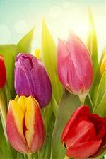 異なる色のチューリップの花 iPhoneの壁紙