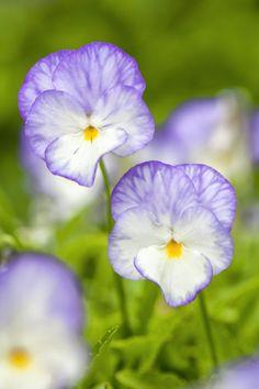 Viola 'Bonnie Lassie Isabella' (Blooms of Bressingham)