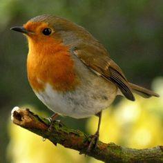 I did not know there was a European Robin. All Birds, Little Birds, Pretty Birds, Beautiful Birds, European Robin, Robin Redbreast, Robin Bird, Wild Creatures, Mundo Animal