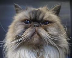 F12-1752 Precious is an adoptable Himalayan Cat in Rio Rancho, NM.  This animal is located at Rio Rancho Animal Control, 3441 Northern Blvd, Rio Rancho, NM. To reach the shelter from Albuquerque, take...