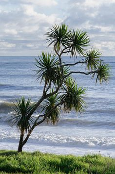 Cabbage Trees, Highway, Karamea, West Coast, The South Island, New Zealand