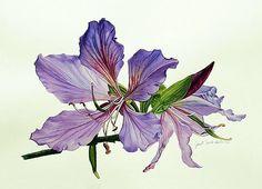 Bauhinia Botanical Painting by Janet Gupta  |
