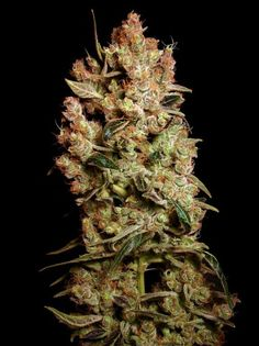 Agent Orange #Cannabis Join Us at SmokeWeedEveryday.Org for More Weed Fun!