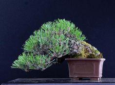 Black pine Bonsai by 秀村花園 #bonsai