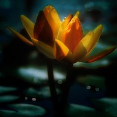 midnight lotus