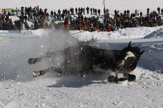 """Feb. 12, 2012. A horse falls down as it pulls a skier during the """"Kumoterki"""" race in Bukowina Tatrzanska, southern Poland. The race, which marks the end of the annual Highlanders' Festival, is a competition involving riders, two on every sledge, pulled by horses. Every year in mid-February, hundreds of highlanders arrive at Bukowina to take part in the traditional event, which has become one of the main tourist attractions of the area."""
