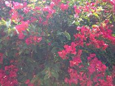 Bougainvillea - http://www.gardenanswers.com/shrubs/bougainvillea/