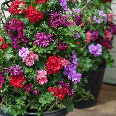 20 X Arrière Petunia Calibrachoa Millions Bells double bleu ciel PLUG plantes
