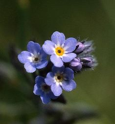 Alpine forget-me-not - Alaska state flower