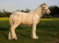 Love Biscuit - It's a curly horse!  A Bashkir Curly Horse.
