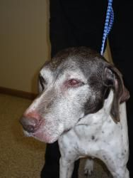 Brooks-URGENT!!! is an adoptable German Shorthaired Pointer Dog in Anamosa, IA. BROOKS IS IN URGENT STATUS AND MUST FIND HIS FOREVER HOME BY MARCH 25TH OR HE COULD FACE EUTHANIZATION. BROOKS WAS RECEN...