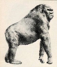 Gigantic Apes Coexisted with Early Humans, Study Finds   LiveScience