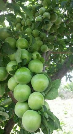 by usraida. Fruit Plants, Fruit Garden, Edible Garden, Fruit Trees, Fruits And Vegetables Pictures, Vegetable Pictures, Fresh Fruits And Vegetables, Tips For Growing Tomatoes, Growing Plants