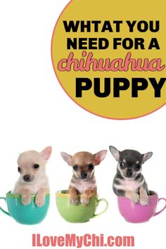Everything you need to get for your new chihuahua puppy. Chihuahua Facts, Cute Chihuahua, Chihuahua Puppies, Baby Puppies, Dogs And Puppies, Chihuahuas, Baby Animals, Cute Animals, Otters Cute