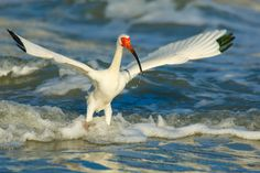 White Ibis taking flight from where it had been hunting in the surf  Gear: EF100-400mm f/4.5-5.6L IS USM / Canon EOS 5D Mark III . . . . #hahnnaturephotography #outdoorphotoworkshops #wildlife #birds #nature #animals #wildplanetphotomag #outdoorphotomag #audubonsociety #nanpapix #instanaturefriends #thetweetsuites #your_best_birds #kings_birds_ #wildlife_perfection #ig_discover_birdslife #nuts_about_birds #bestbirdshots #eye_spy_birds #best_birds_of_ig #instabirds #birdlife_insta…
