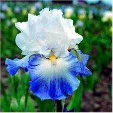 """Alizes        Type: Tall Bearded   Color: Blue   Style: Amoena   Originator: Cayeux   Year: 1989   Height: 33""""   Bloom Season: Early Mid  Price:$7.00"""