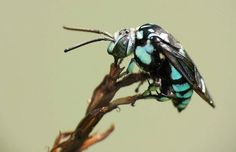 Neon Cuckoo Bee- I would run so fast, my feet would be on fire!