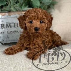 Toy Poodle Puppies, Dog Grooming Styles, Insta Posts, Puppy Love, Dog Breeds, Teddy Bear, Future, Toys, Animals