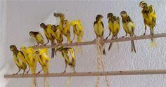 canaries desktop wallpaper - Google Search